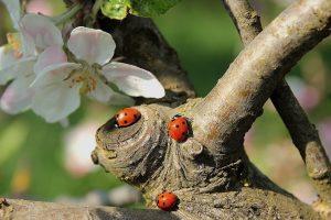 ladybug-722783_1920