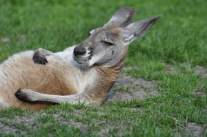 kangaroo-1995843_1920
